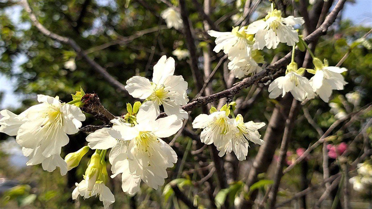 白色櫻花是「福爾摩沙櫻」,發現之初稱作「白花山櫻」 圖/沈正柔 提供