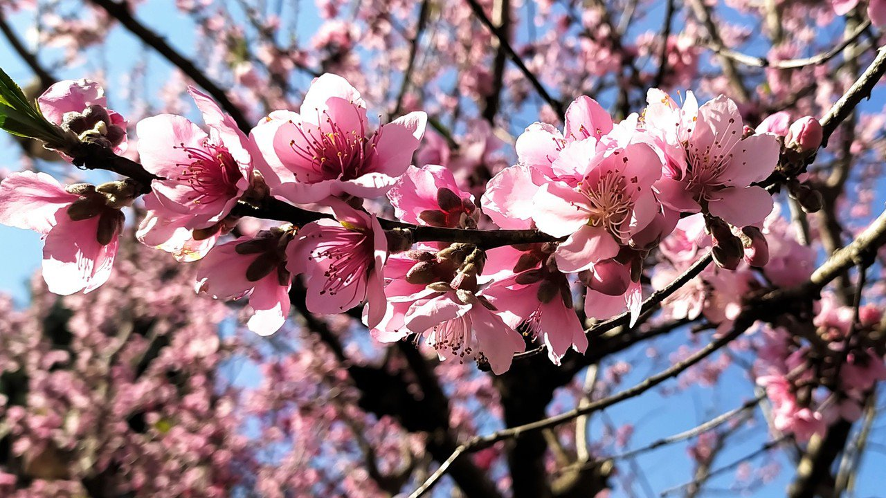 滿開的李花雖然略顯老態不再雪白,數大還是美;環繞李樹的桃花爬上枝頭,不覺喚起「李...