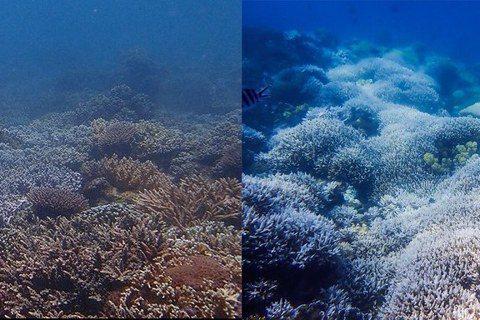 2020年夏天,台灣發生史上最大規模的珊瑚白化事件。圖為墾丁後壁湖花園同一潛點(...