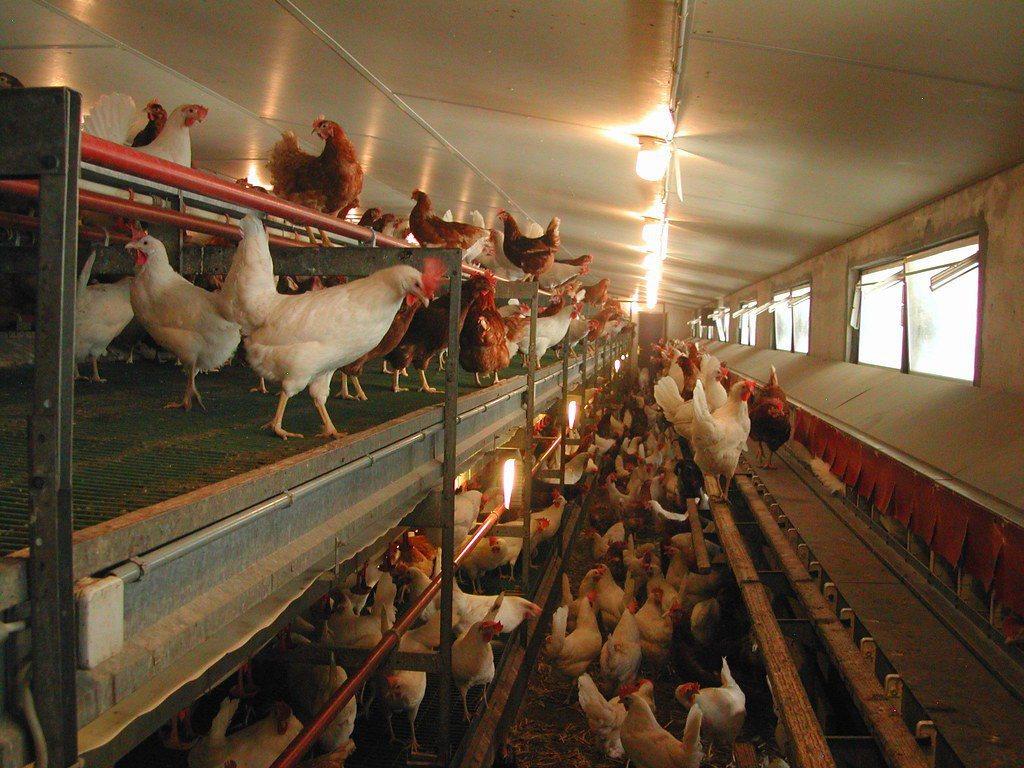 符合動物保護最基本要求的雞舍,雞能走動、跳躍、有棲枝。 圖/GalloSuiss...