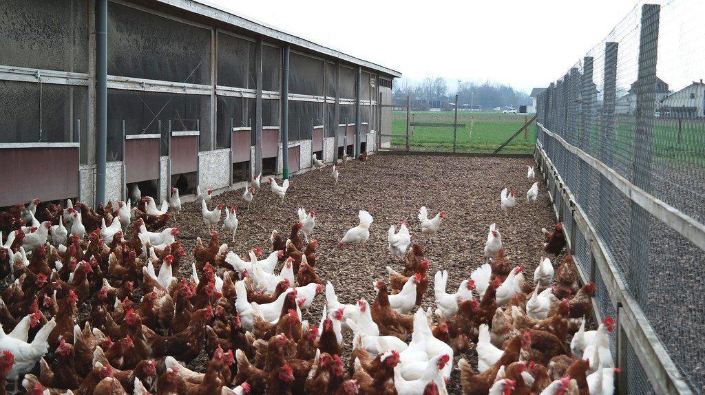 有機飼養的雞享有更多戶外活動空間,能減少傳染病與藥物添加。 圖/GalloS...