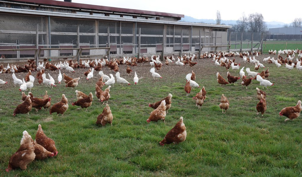 有機飼養的雞享有更多戶外活動空間,能減少傳染病與藥物添加。 圖/GalloSui...
