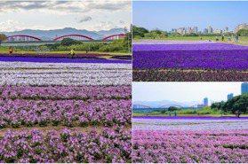 13萬盆花海紫爆!北市河濱公園「1000坪漸層紫花毯」開滿6款花色好夢幻