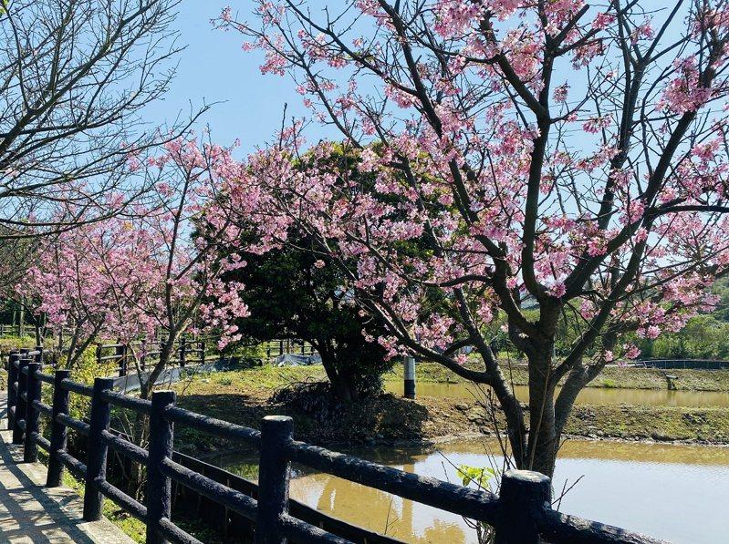 三芝區三生步道櫻花季的壓軸吉野櫻已經開始綻放,民眾可以從早看櫻花看到晚。 圖/紅樹林有線電視提供