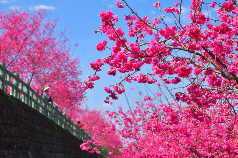 阿里山區半天岩紫雲寺2至3月,櫻花盛開,民眾爭相目睹。圖/漫步在雲端的阿里山提供
