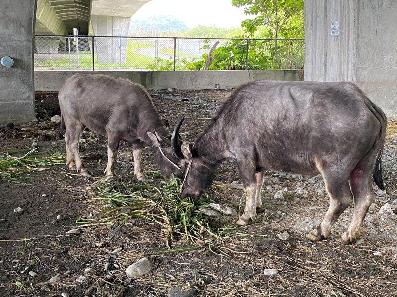送來宜蘭隔離的擎天崗水牛「依媽」、「依依」母女檔今天結束隔離檢疫,送往農委會花蓮種畜繁殖場,正式移居展開新生活。記者戴永華/攝影