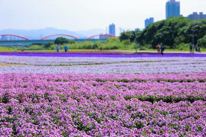 紫色花海由香堇菜擔當主角,搭配直立的一串紫及羽葉薰衣草。圖/北市水利處提供