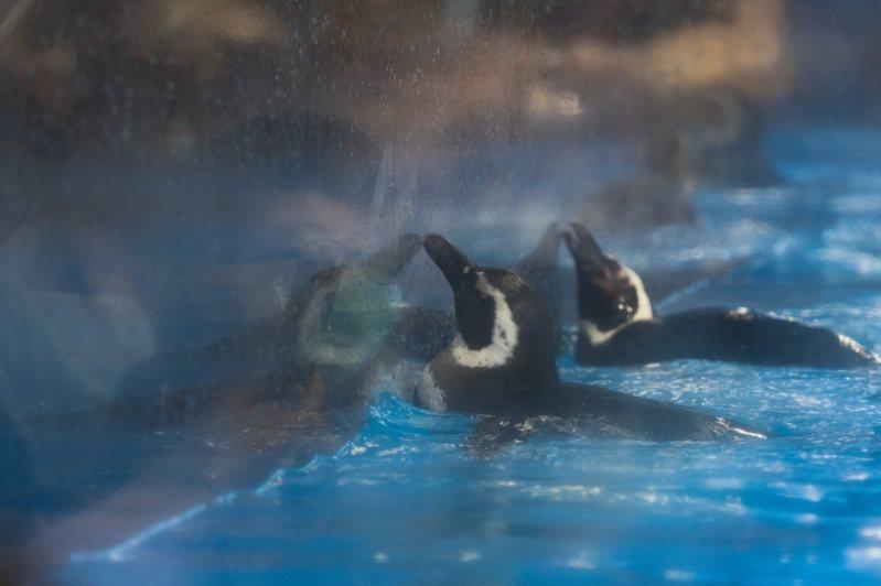 館內企鵝不斷啄玻璃互動,台灣防止虐待動物協會表示,此為常見於圈養水生鳥類的異常行為。圖/台灣防止虐待動物協會提供