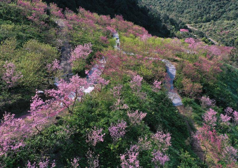 三峽大熊櫻花林,綻放的櫻花遍布整個山谷,美不勝收。記者林澔一/攝影