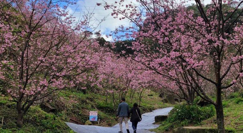 新北大熊櫻花林粉紅美景滿山頭,進最佳觀賞期花期至4月。 圖/游明煌 攝影