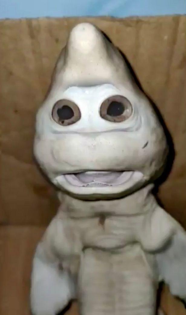 小鯊魚長相奇特,2隻圓滾滾的眼睛長在吻端下方而非身體2側。圖/取自dailystar