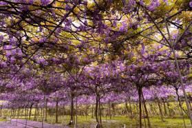淡水「1000株紫色花瀑」必拍!全台最大紫藤園2021花期延長,把握最後一年賞花