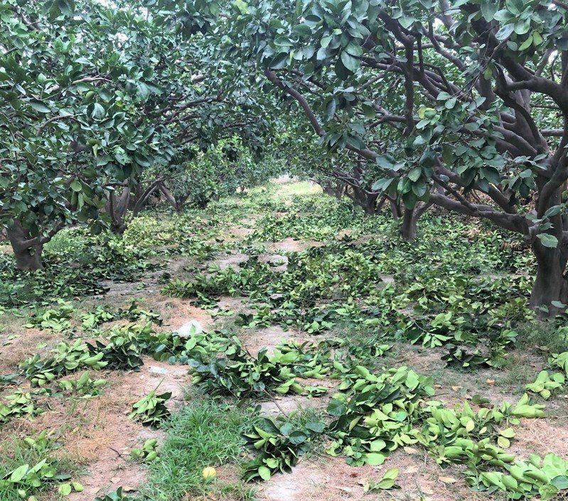 台南麻豆及下營等地文旦採收後,農民修剪廢枝條處理成為頭疼問題。記者吳淑玲/翻攝