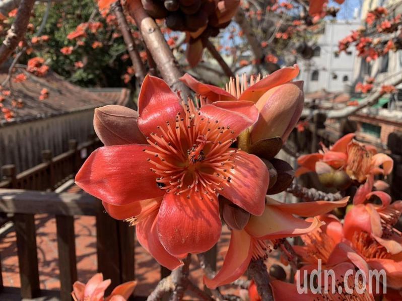 位在金城鎮市區的清金門總兵署內後方,金門最為著名的木棉樹王,近期正開花,木棉花開,嫣紅似火,真的好美。記者蔡家蓁/攝影