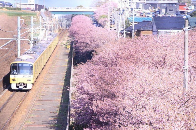 隨著冬天的結束,日本各地的櫻花也逐漸綻放。圖擷取自twitter