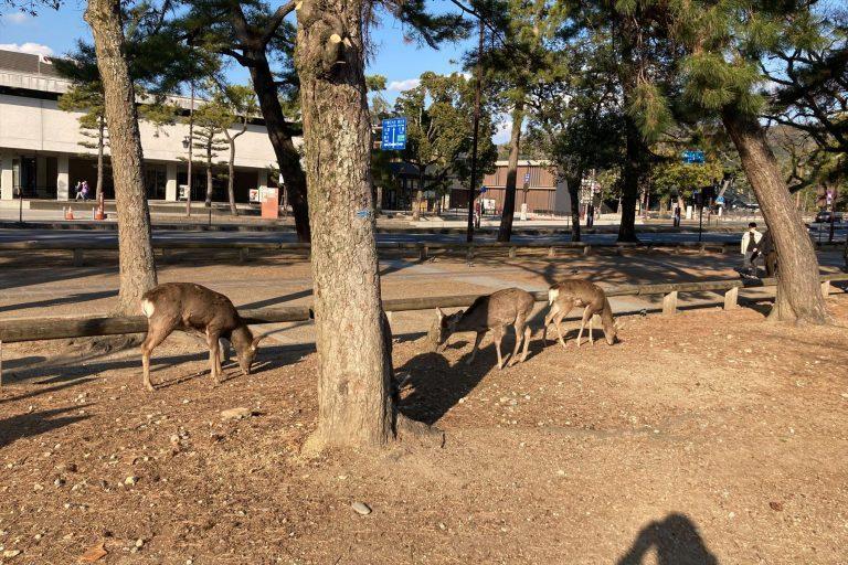 奈良鹿因缺乏觀光客餵食,加上冬季來臨,遇上食糧不足的狀況。圖擷取自SPA!
