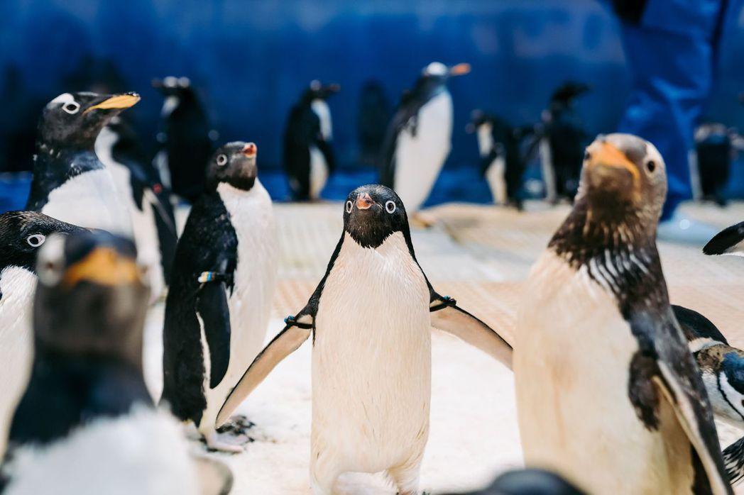 呆萌活潑企鵝成為大小朋友最愛。  屏東海生館/提供