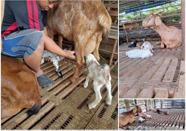 【茶芝飲】配合屏東在地小農,羊奶出產品質把關