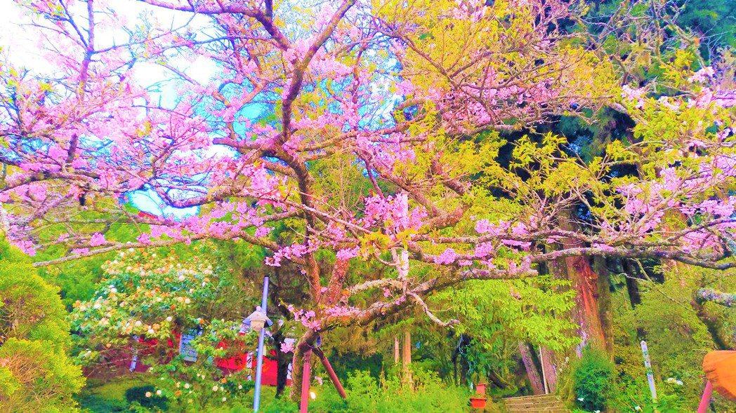 阿里山區櫻花盛開,吸引遊客慕名前往。圖/五工處嘉義所提供