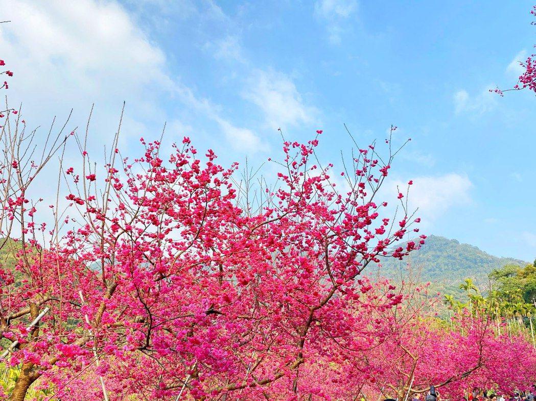 阿里山區櫻花盛開,吸引遊客慕名前往。圖/嘉義公車處提供
