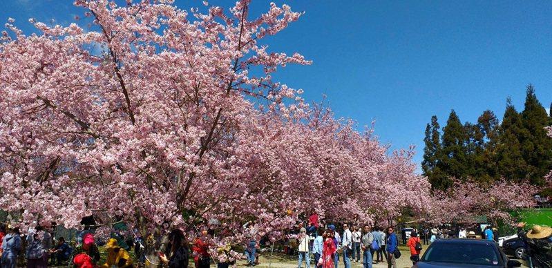 農場的櫻花每年都能吸引大量遊客賞櫻。圖/桃園市風景管理處提供
