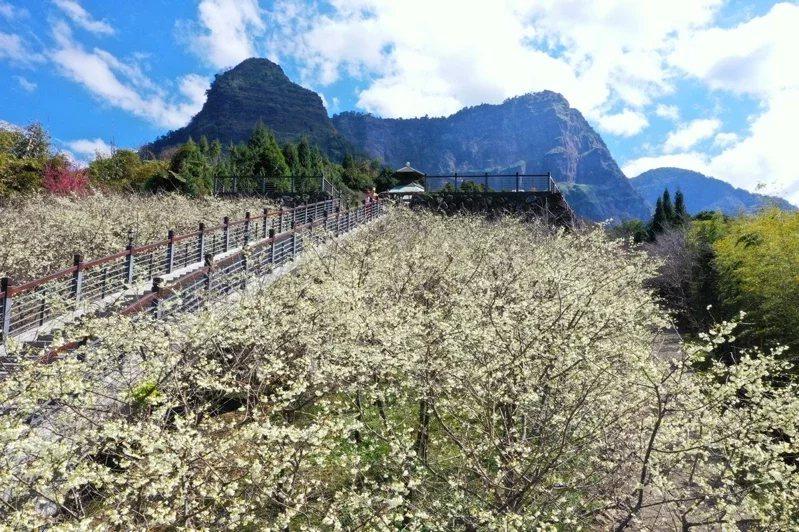 阿里山區寒溪呢2至3月,櫻花盛開,民眾爭相目睹。  圖/漫步在雲端的阿里山 提...