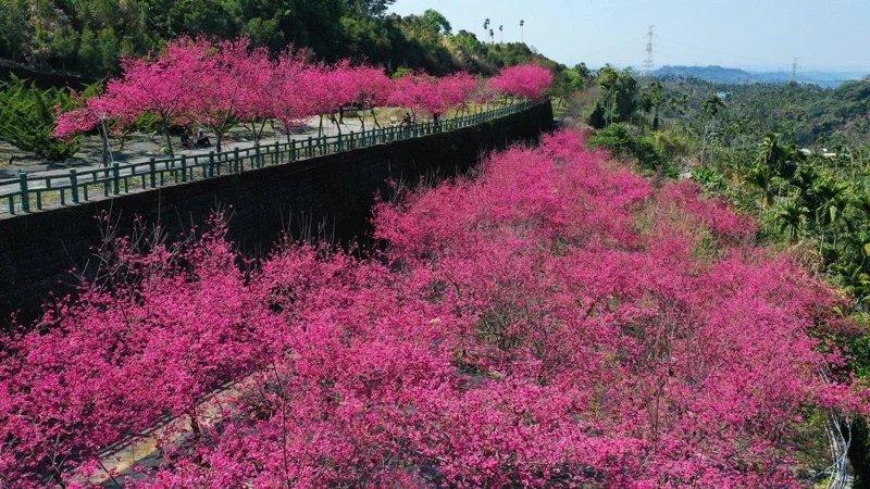 阿里山區半天岩紫雲寺2至3月,櫻花盛開,民眾爭相目睹。  圖/漫步在雲端的阿里...