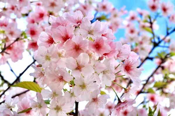 山櫻花。 圖/謝德財提供