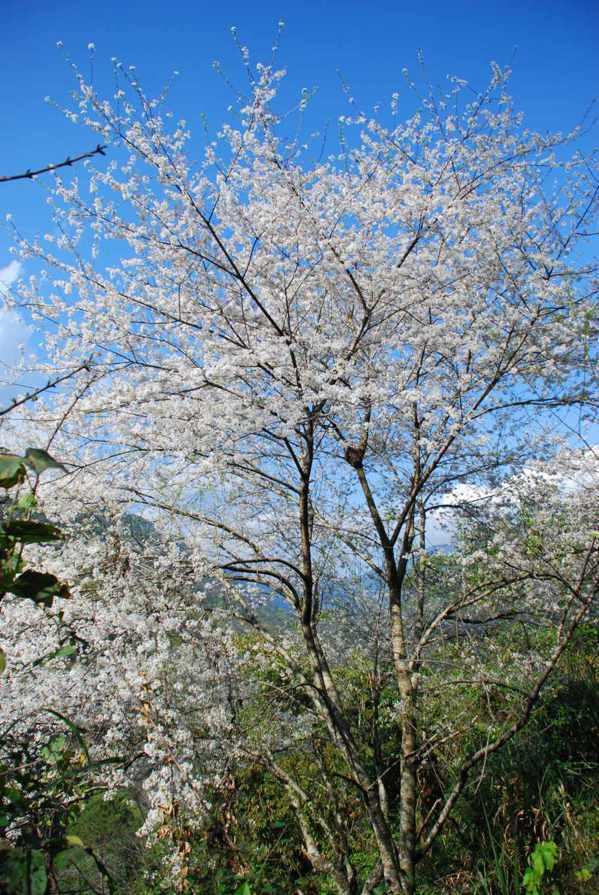 霧社山櫻花。 圖/簡慶德提供
