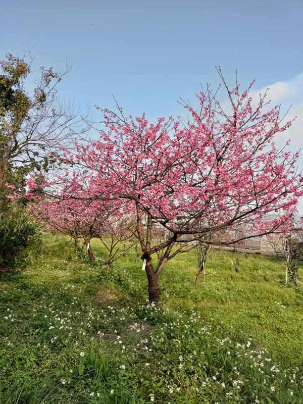 桃園3號春緋樹形整齊、適合平地生長、較耐暖冬且容易開花。 圖/吳安娜提供