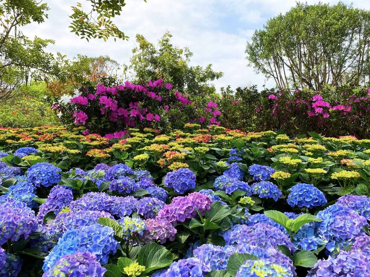 北市大安森林公園的杜鵑花已陸續綻放中,民眾可趁228連假前往賞花。 圖/北市公園...
