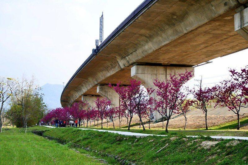 快速道路橋下桃紅色花海綿延二公里的櫻花大道。
