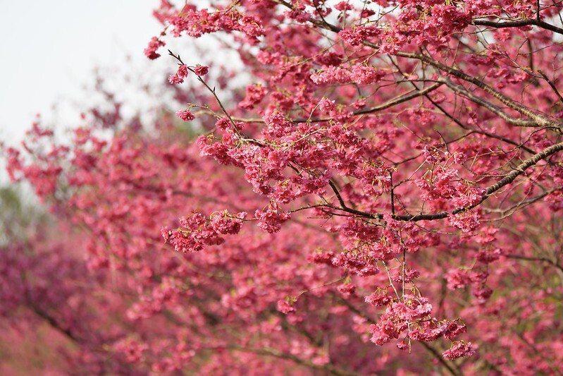 午後的三、四點時刻,不會刺眼的溫柔陽光下,櫻花美的柔和唯美。