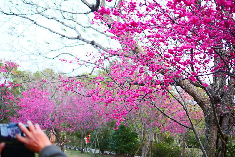 天黑後的櫻花,照明燈下格外豔麗,桃紅偏紫的美艷花朵。