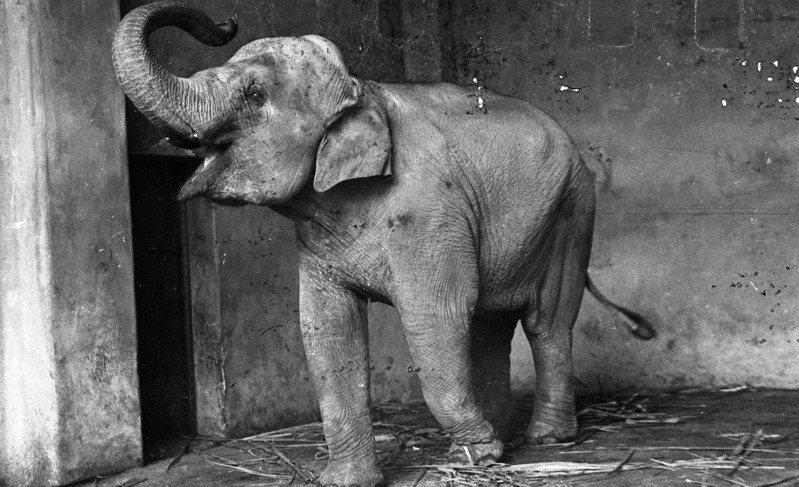 大象林旺。圖/聯合報系資料照