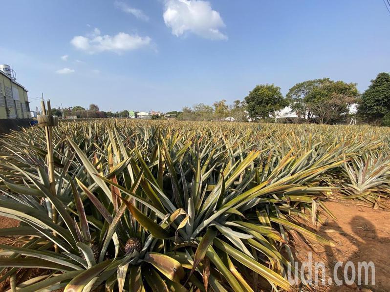 南投縣鳳梨主要以加工用的土鳳梨為大宗,且去年便停止出口,這次檢疫風波影響不大。記者江良誠/攝影