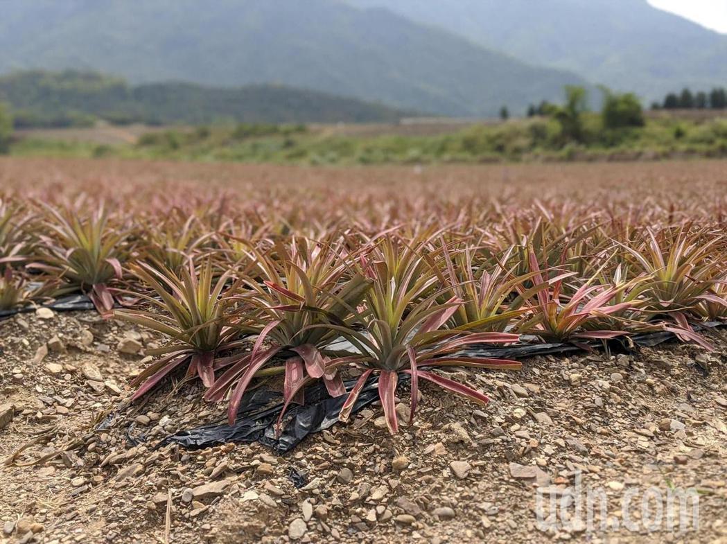 鳳梨即將進入正是產期,不只品質好,量也大,屏東縣政府農業處也表示,目前仍與相關單...