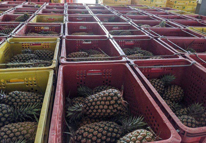 鳳梨即將進入正是產期,不只品質好,量也大,屏東縣政府農業處也表示,目前仍與相關單位、貿易商討論中,未來也會持續開拓其他海外市場,以免衝擊未來縣內鳳梨產銷。記者陳弘逸/攝影