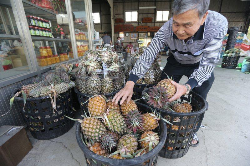 大陸海關總署決定自3月1日起暫停台灣鳳梨輸入大陸,鳳梨農擔心價格恐會面臨崩盤,損失可能難以估計。記者劉學聖/攝影