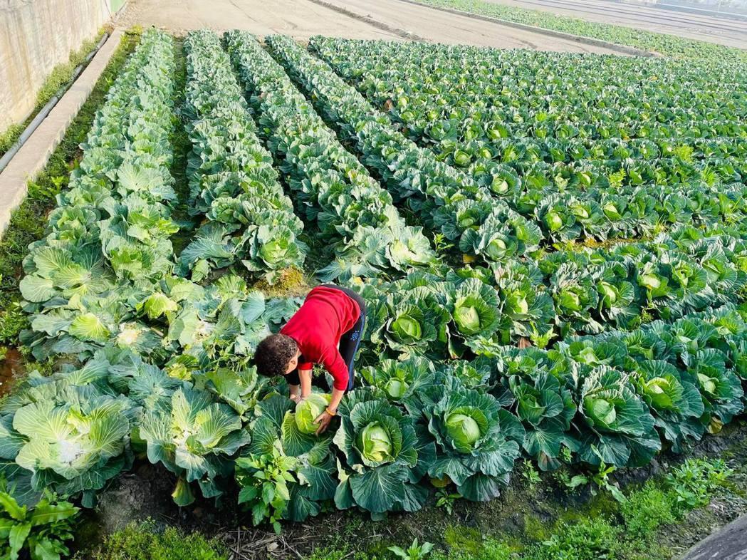 彰化縣和美鎮陳姓菜農開放高麗菜每顆10元自採,其中1000顆今天(26日)中午不...