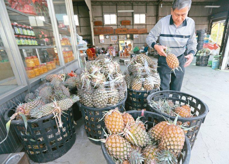 中國大陸三月起暫停台灣鳳梨輸入,台南關廟黃姓鳳梨農擔心價格崩盤,損失將難以估計。 記者劉學聖/攝影