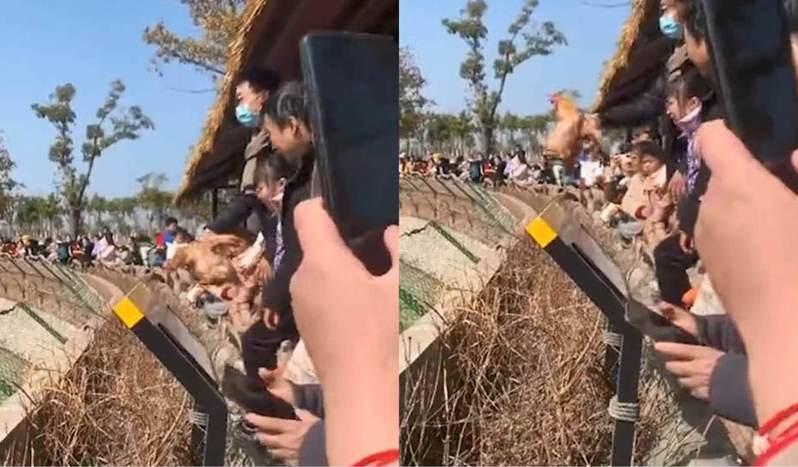 中國江蘇南通有動物園遊客投訴,園內設有向老虎投餵活雞的環節,只見職員給遊客提供活雞,然後讓他投向老虎附近讓牠食用。 圖/香港01