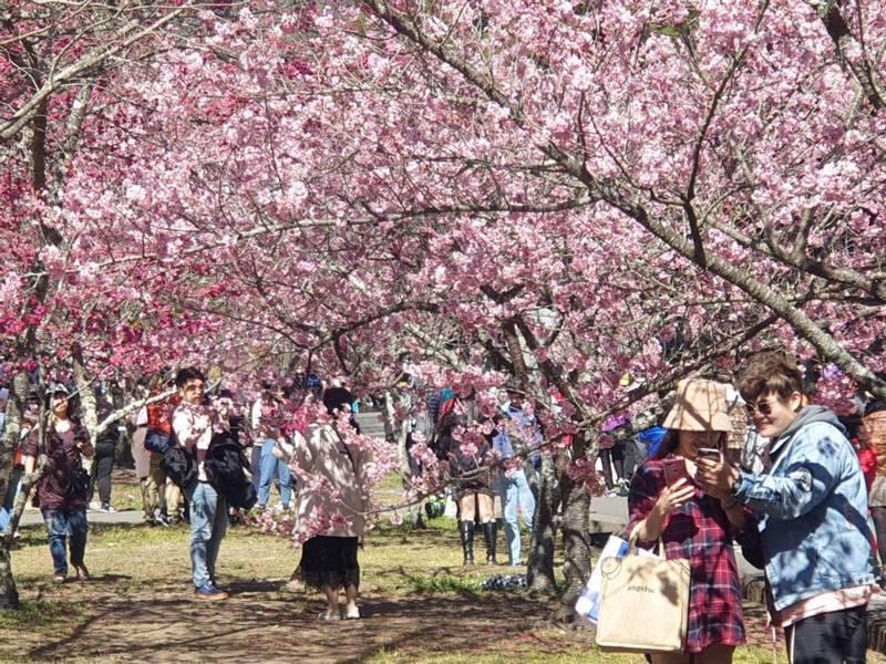 武陵農場櫻花季展開,228連假首日吸引5000多名遊客入園。圖/武陵農場提供