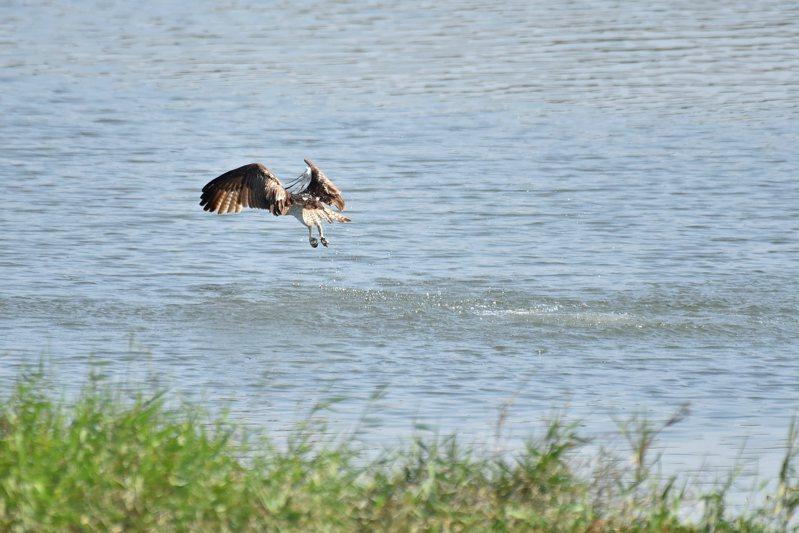 保育類魚鷹在客雅溪口會以俯衝入水的姿態覓食,民眾仔細觀察就能發現牠的身影。圖/新竹市府提供