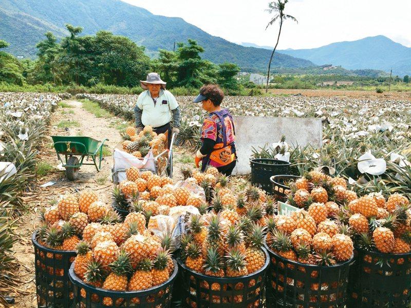 三月是鳳梨盛產期,原本忙著採收準備銷往大陸的農民,如今大批訂單被取消,只能乾著急。 本報資料照片