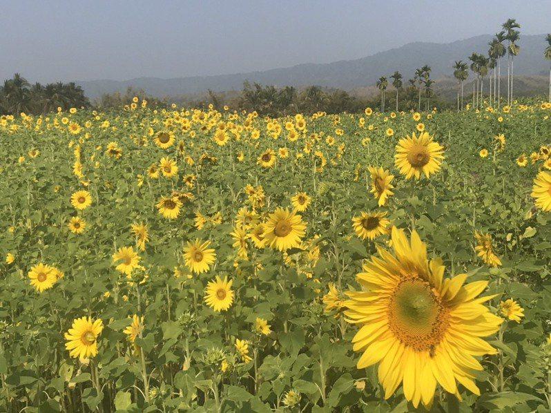 杉林向日葵比預期晚開花,228連假前進入盛開期。記者徐白櫻/攝影