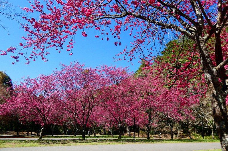 南投縣奧萬大國家森林遊樂區春櫻正盛,3月起推「春遊優惠方案」平日入住享優惠。圖/南投林管處提供