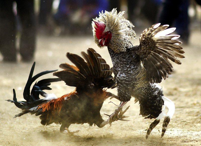 印度在1960年禁止斗鸡,但在乡下地方仍很流行。欧新社(photo:UDN)