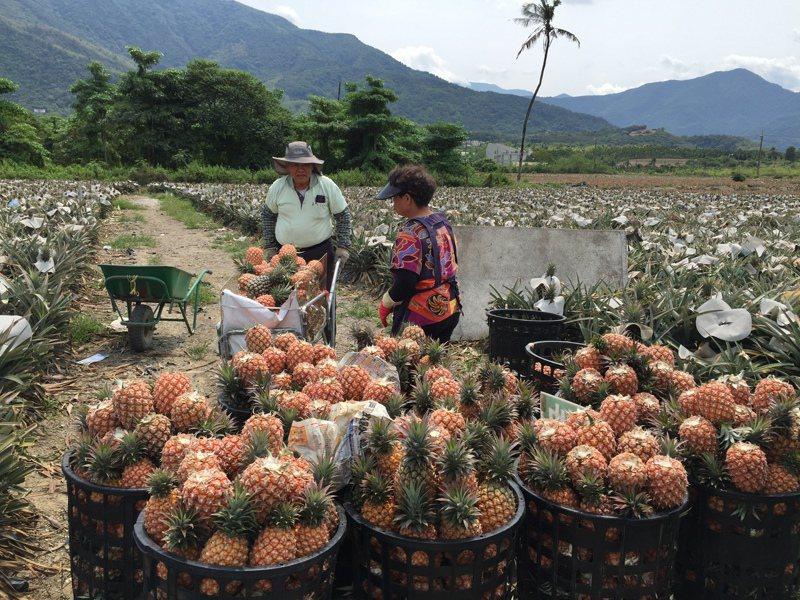 三月是鳳梨盛產期,原本忙著採收準備銷往大陸的農民,如今大批訂單被取消,只能乾著急。圖/聯合報系資料照片