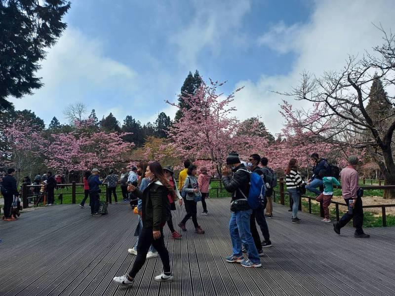 二二八連假大阿里山風景區湧入大批賞櫻遊客。圖/林務局嘉義林管處提供